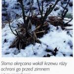 porady_roze_zabezpieczenie_roz_na_zime04