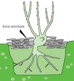 porady_roze_z_poradnika_ogrodnika04