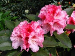 rododendron_wielkokwiatowy_ann_lindsay02