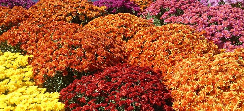 Jesienny czar chryzantem