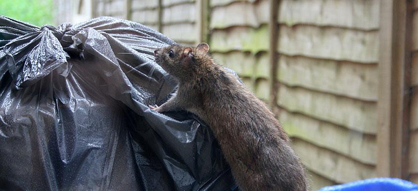 zwalczanie myszy, szczurów i innych gryzoni