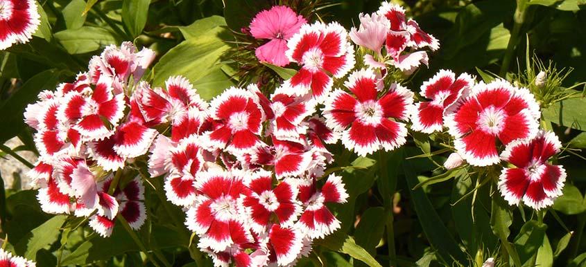Kwiaty do doniczek na tarasy i balkony