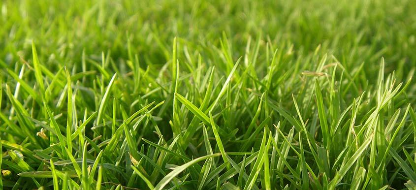 Trawnik z rolki czy z siewu