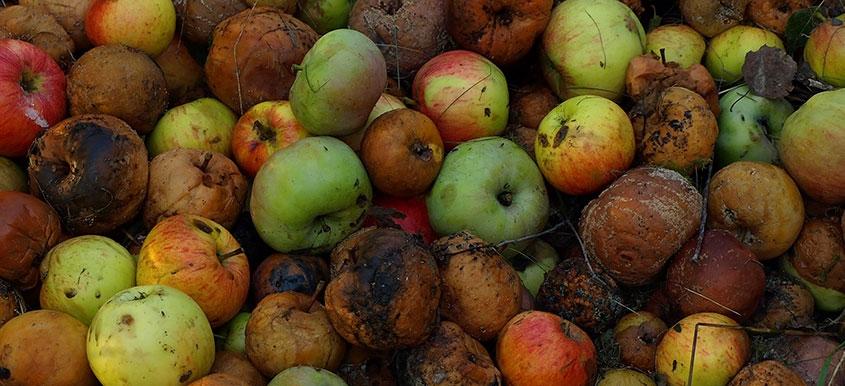 Zwalczanie parcha jabłoni