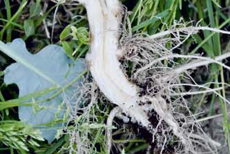 Brokuł uszkodzony przez śmietkę po zaprawieniu Verimarkiem, szkodniki nie wgryzają się do wnętrza korzenia