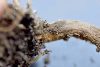 Łodyga brokuła zaprawionego Verimarkiem uszkodzona przez śmietkę jedynie na zewnątrz